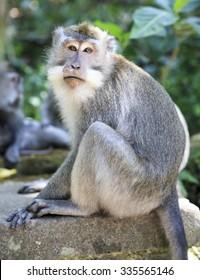 Monkey in Bali monkey forest