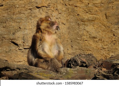 Monkey barbary macaque (Macaca sylvanus), also known as barbary ape or magot sitting on rock with face towards the sun and taking sunbathe. Animal in natural habitat. Habitat North Africa, Gibraltar.