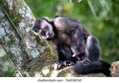 The monkey from Brazilian rainforest. The tufted capuchin, also known as brown capuchin, black-capped capuchin, or pin monkey. Sapajus apella or Sapajus libidinosus.