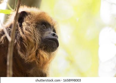 Monkey -Bugio of Genero Alouatta, Rainforest Primate of Brazil