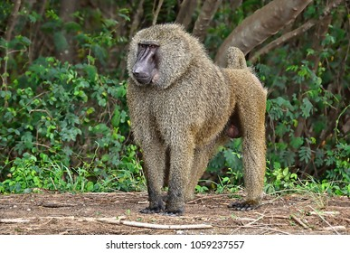 Monkey in a bush. Baboon. African wildlife. Close up. Amazing image of a wild animal in natural environment. Awesome portrait of olive baboon.
