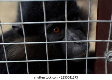 A monkey in a cage, but longing for freedom. Zoo.