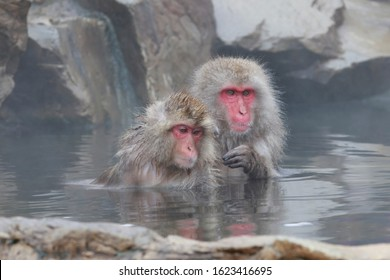 Monkey couple soaking in hot spring