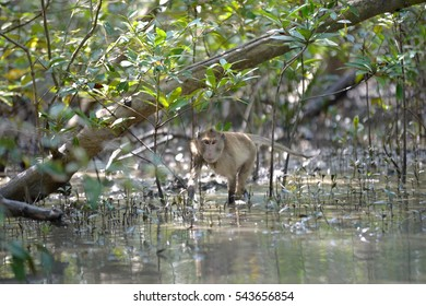 monkey crab-eating macaque in mangrove forest from thailand