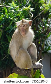 Monkey (Crab-eating macaque) on tree in Lopburi,Thailand