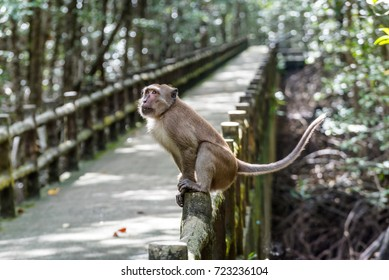 Monkey (Crab-eating macaque) in Ranong biosphere reserve, Mangrove forest, Thailand