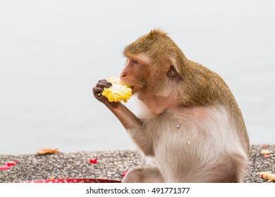 Monkey disabilities have one arm - Shutterstock ID 491771377
