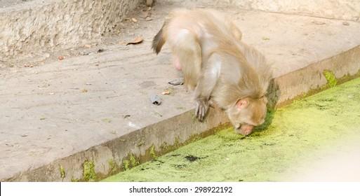 monkey drink water