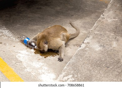 Monkey drinking fizzy water on the road in Thailand