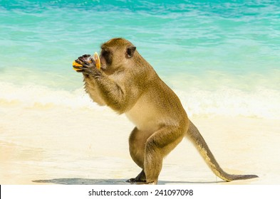 Monkey drinking juice, which she got from a tourist, Monkey Beach, Phi Phi Islands, Thailand