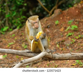 Monkey eatind a banana  in the living nature . Country Of Sri Lanka