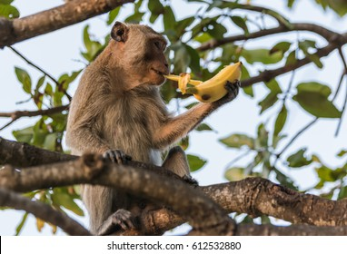 Monkey eating banana.