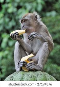 Monkey eating Banana against blurred green background
