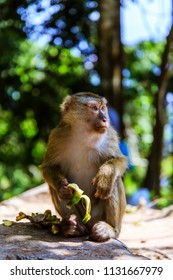 Monkey eating banana at Monkey Hill, Phuket, Thailand