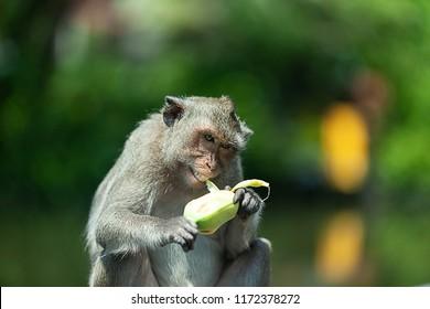 monkey eating banana is the main food