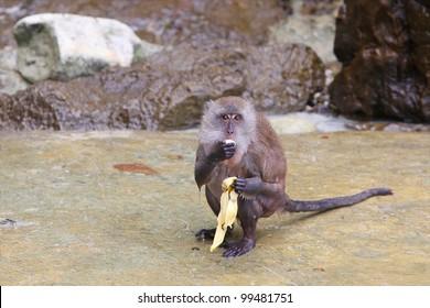 Monkey eating banana on Monkey Island, Phuket, Thailand