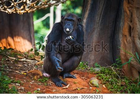 Monkey Eating Banana Zoo Stock Photo Edit Now 305063231 Shutterstock
