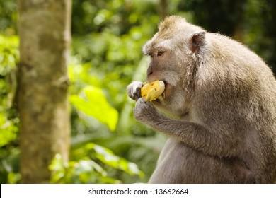 monkey eating a bananas