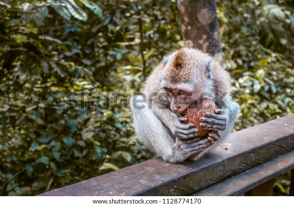 Monkey eating a coconut at Monkey forest Ubud, Bali - Macaca fascicularis
