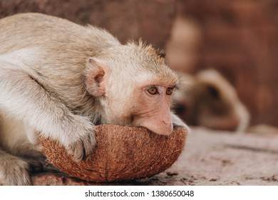Monkey eating a coconut while sitting on the stone of the Prang Sam Yod in Lopburi, Thailand