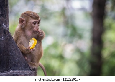 monkey eating corn on the road