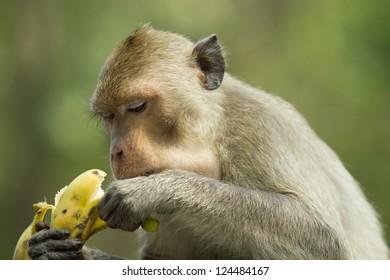 Monkey eating a delicious banana