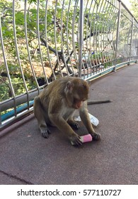 Monkey is eating an ice cream