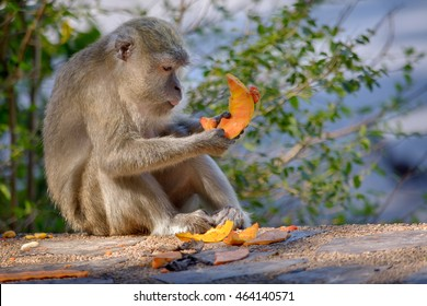 Monkey eating Mango