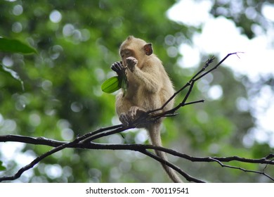 Monkey eating on the tree in the rain.