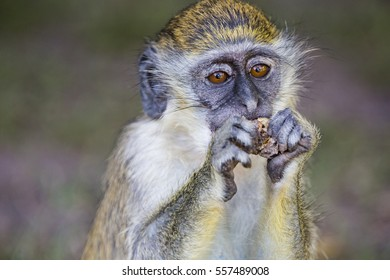 monkey eating a peanut