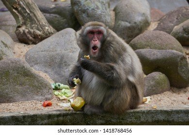 Monkey eating and pulling a surprised guilty face because he is caught