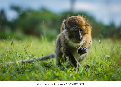 Monkey eating-crab macaque (long-tailed macaque) is browsing a grass in Koh Lanta island in the National Park, Thailand