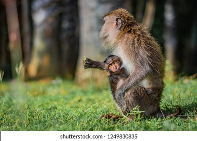 Monkey eating-crab macaque (long-tailed macaque) mother is feeding its young attached to its breast in Koh Lanta island in the National Park, Thailand