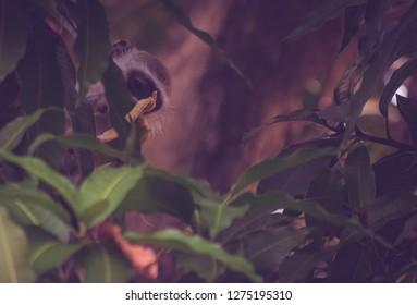 monkey enjoying a banan on a mango tree
