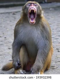 The monkey is eyes sleepy and yawning