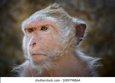 Monkey face of Thailand. Monkeys baby.  Monkey portrait style.