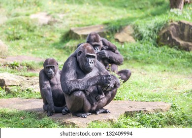 Monkey family with babies and toddlers