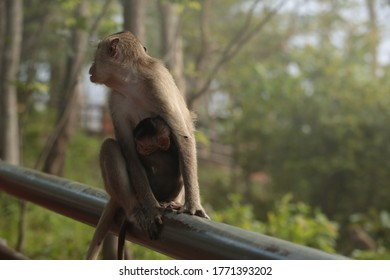 Monkey Family Monkey in National Park in Thailand.