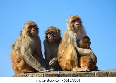 Monkey family on blue sky background. Mother monkey embracing  her baby. Family of four monkeys. Rhesus Macaque monkey (Macaca mulatta), Nepal, Kathmandu. Animals of Asia.
