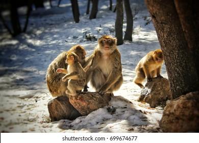 monkey family , Taken in Ifran, Morocco