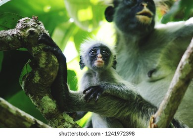 monkey family in the trees of a jungle in Zanzibar