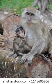 Monkey feeding infant / baby