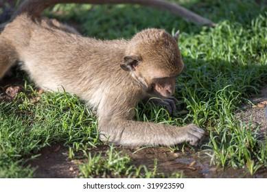 Monkey finding something on grass field