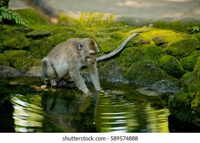 Monkey fishing in a pond. Monkey forest, Ubud, Bali, Indonesia.