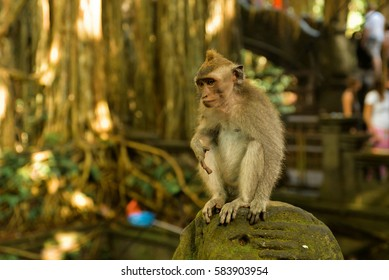 A monkey in the Monkey forest, Ubud, Bali, Indonesia