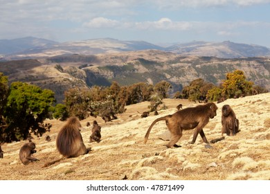 monkey Gelada