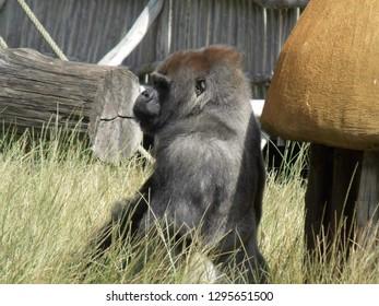 Monkey Gorillaz zoo