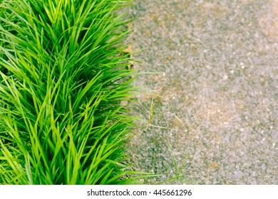 Monkey Grass Along Aged Sidewalk