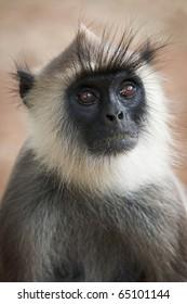 Monkey (gray langur) portrait close up. Sri Lanka