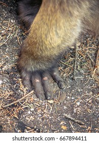 monkey hand, detail of japanese macaque